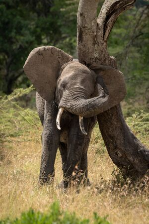 African elephant rubs its head against bent tree