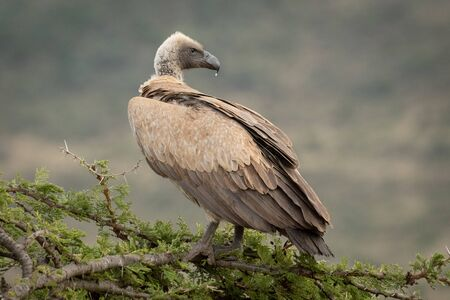 African white-backed vulture on branch looking back