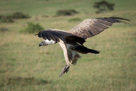African white-backed vulture comes in to land