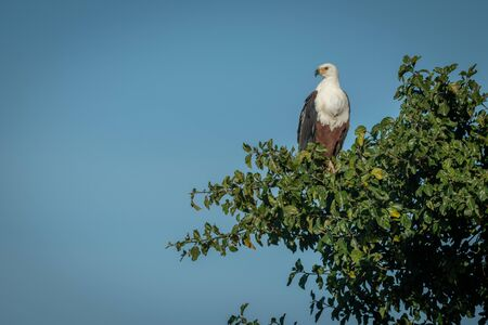 African fish eagle perches in tree looking down Stock Photo