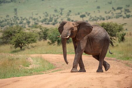 African elephant lifts head while crossing track