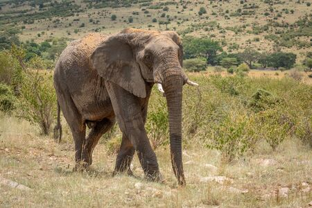 African elephant with dusty back crosses hillside Stock Photo