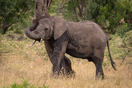 African elephant rubbing itself against twisted tree