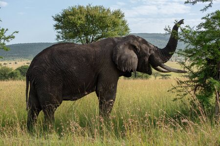 African elephant lifts trunk while browsing bush Stock Photo