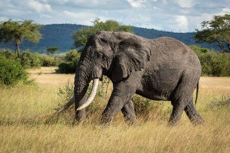 African bush elephant walking through long grass Stock Photo