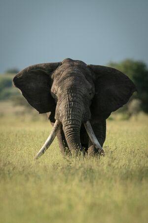 African bush elephant stands eating long grass