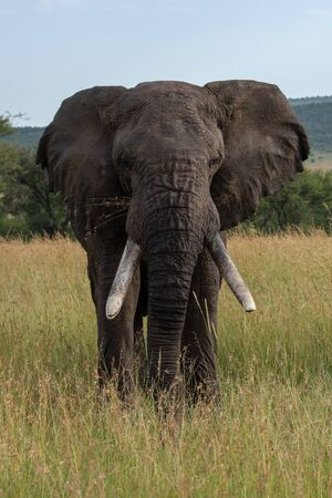 African elephant stands facing directly towards camera Stock Photo