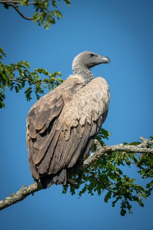 African white-backed vulture perched on leafy branch