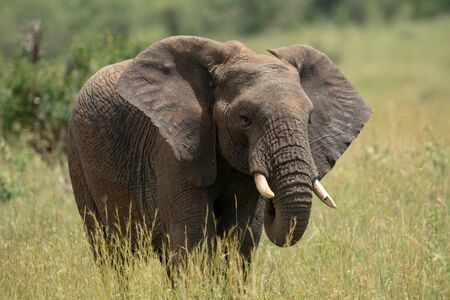 African elephant with chipped tusk in grass Stock Photo