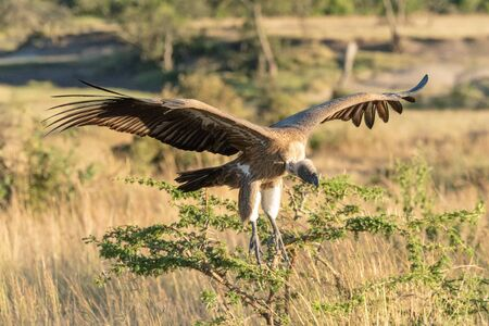 African white-backed vulture comes in for landing Stock Photo