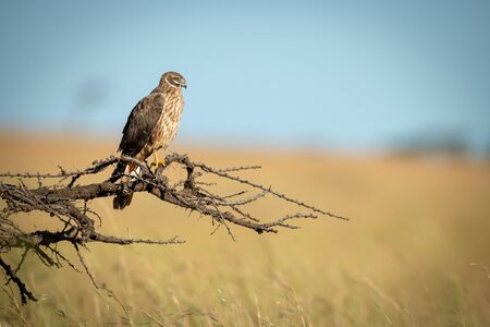 African marsh harrier perched on dead branch