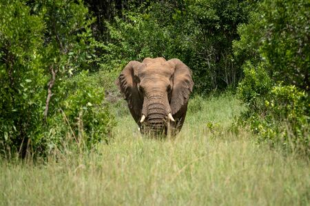 African elephant stands between trees facing camera