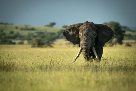 African bush elephant stands in long grass Stock Photo