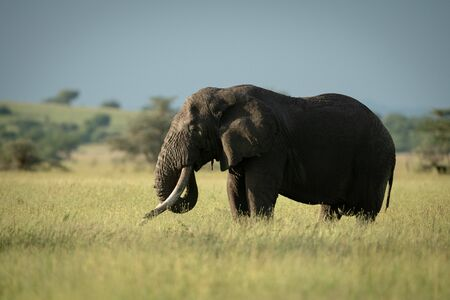 African bush elephant stands eating in grass Stock Photo