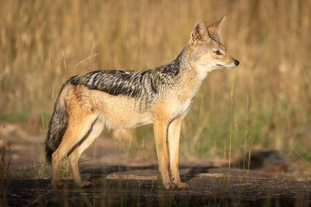Black-backed jackal stands in sunshine staring ahead