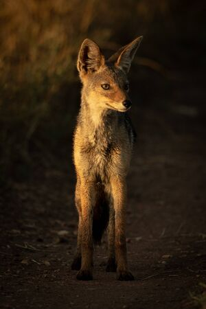 Black-backed jackal stands on track at dawn Stock Photo