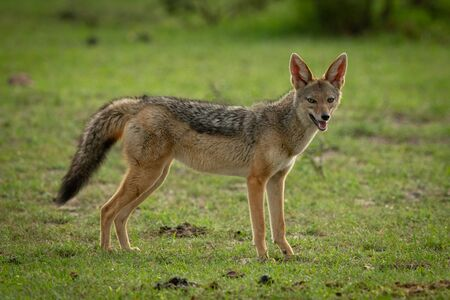 Black-backed jackal stands in grass eyeing camera