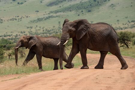 Big and small African elephant cross track