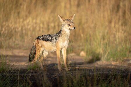 Black-backed jackal stands in sunshine on rock