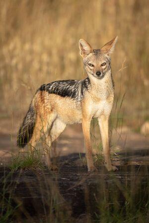 Black-backed jackal stands in sunshine eyeing camera