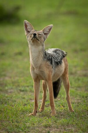 Black-backed jackal stands with both eyes closed Stock Photo