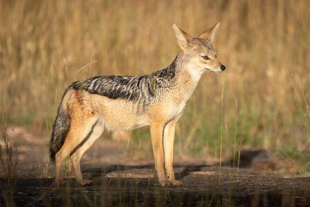 Black-backed jackal stands in sunshine on rocks