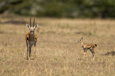 Baby Thomson gazelle watches mother eyeing camera