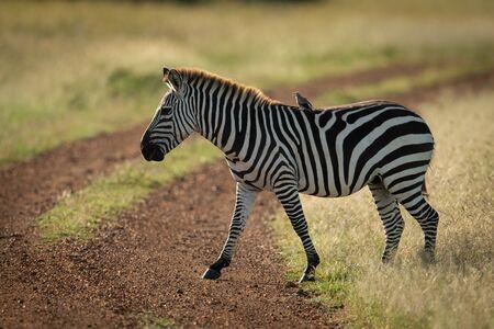 Bird on plains zebra crossing dirt track