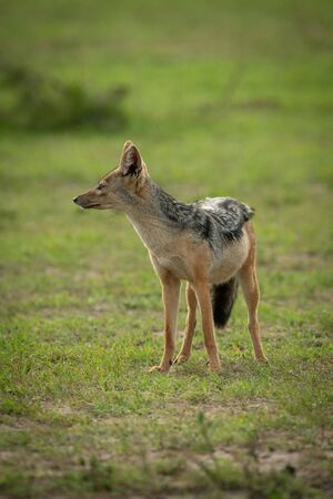 Black-backed jackal stands in grass looking left