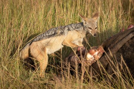 Black-backed jackal stands by carcase in grass