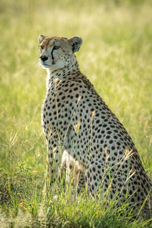 Backlit female cheetah sits in tall grass Stock Photo