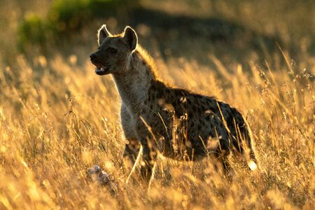 Backlit spotted hyena stands in long grass Stock Photo