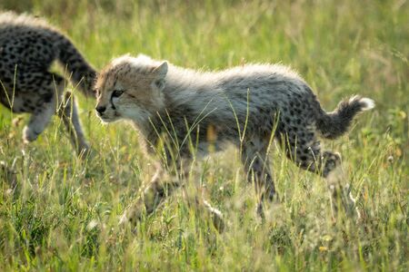 Backlit cheetah cub crosses grassland with sibling Imagens
