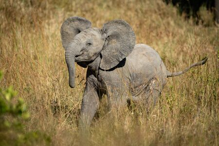 Baby elephant lifts head in long grass