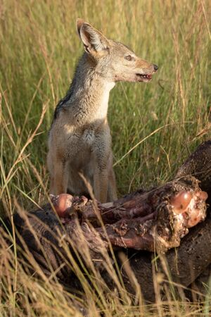 Black-backed jackal sits by carcase in grass