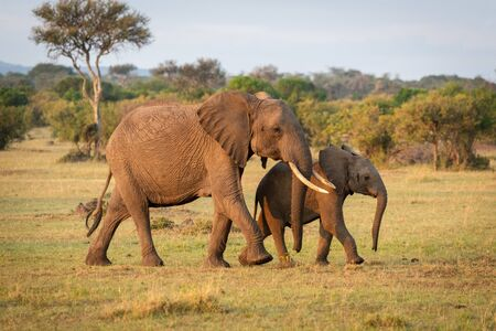 African bush elephant crosses savannah with calf