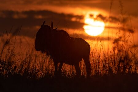 Blue wildebeest silhouetted in grass at sunset