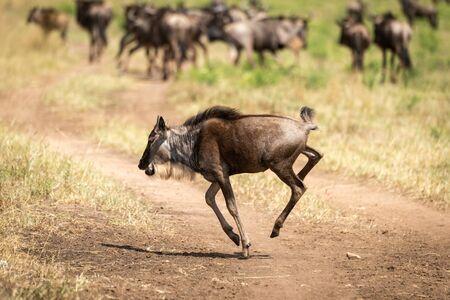 Blue wildebeest calf gallops across dirt track