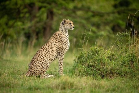 Cheetah sits in profile on short grass