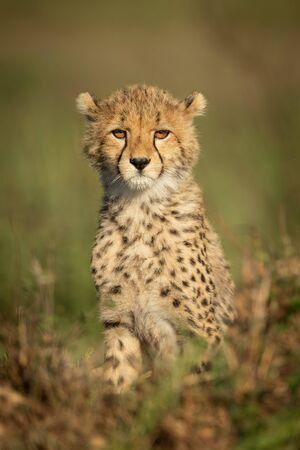 Cheetah cub sits facing camera in grass