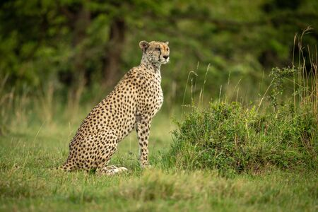 Cheetah sits on short grass turning head 版權商用圖片