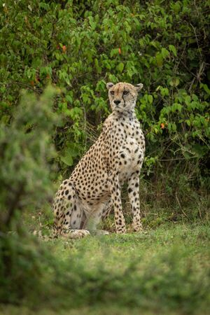 Cheetah sits framed by bushes looking left