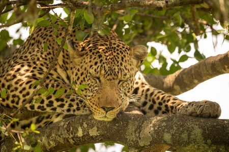 Close-up of leopard sleeping on lichen-covered branches Stock Photo