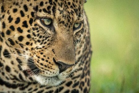 Close-up of male leopard face angled down 版權商用圖片