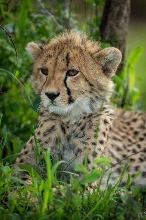 Close-up of cheetah cub lying in shade Фото со стока