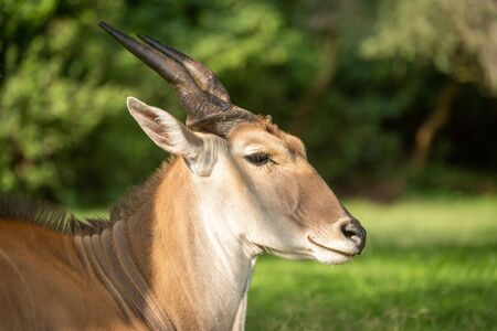 Close-up of common eland lying in grass Фото со стока