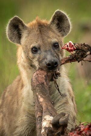 Close-up of spotted hyena gnawing wildebeest leg