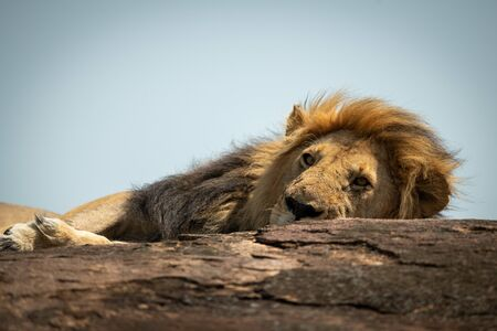 Close-up of male lion lying on rock Stock Photo