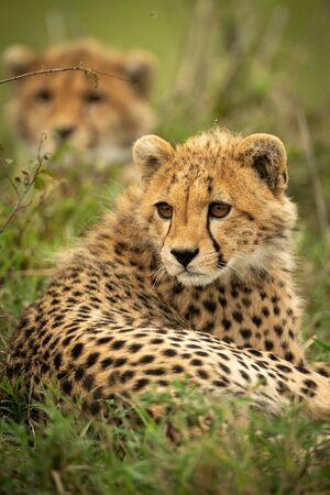 Close-up of cheetah cub lying near bush