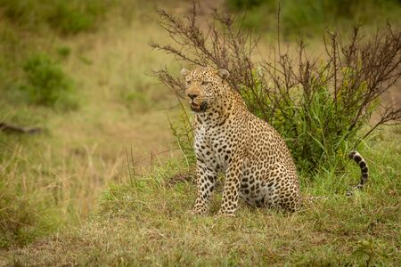 Leopard sits looking left with bush behind Stock Photo